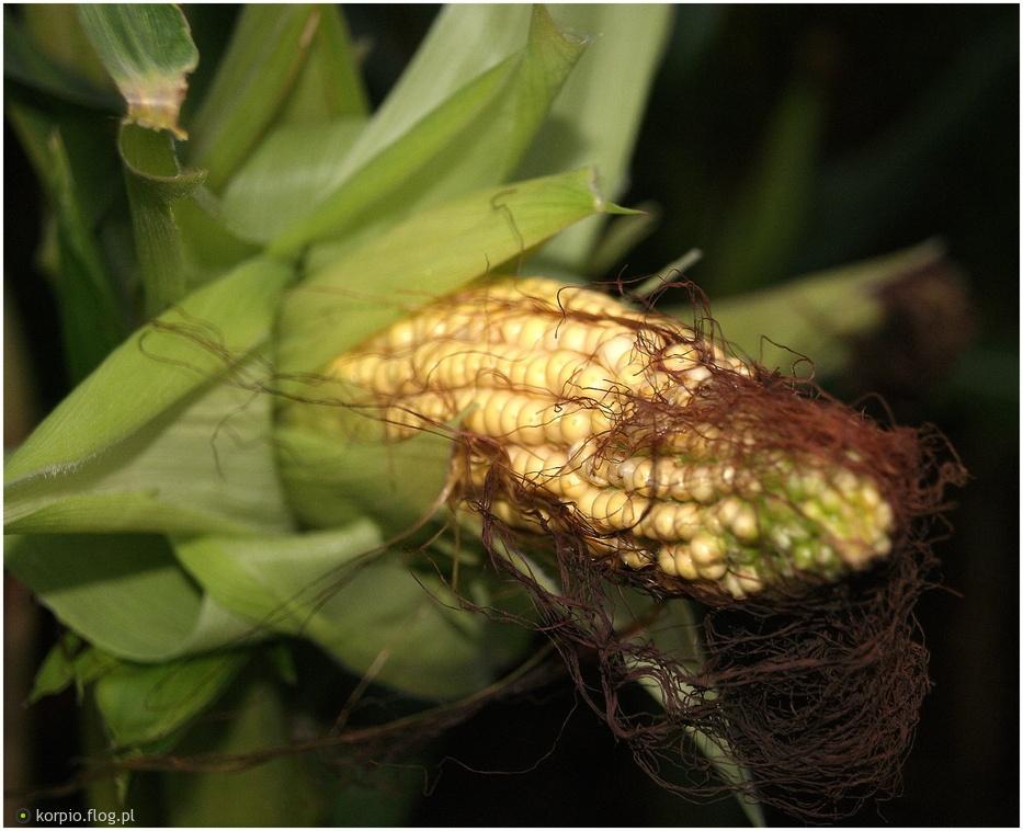 Kukurydza.... inaczej