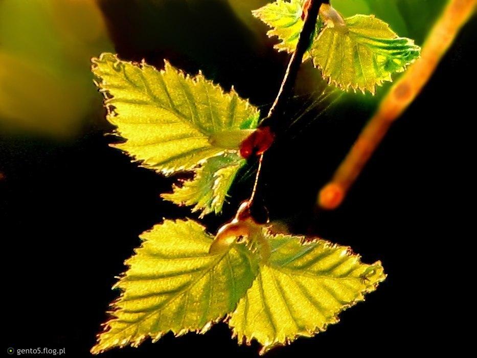 Świetlane listki brzozy