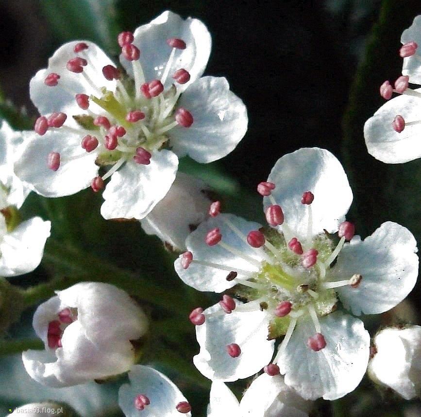 Kwiaty Aronii Zdjęcie Fotoblog Basia53flogpl