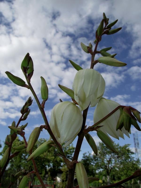 Kwiaty Yukki