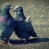 Doves :: Taką fajną parkę udało mi<br /> się obfocić nad stawem w<br /> zgorzeleckim parku. Były<br /> bardzo cierpliwe