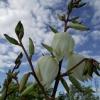Kwiaty Yukki :: Udanego piątku