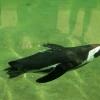 Pingwiny ;) :: Krótki reportaż o pingwin<br />ach w Płockim Zoo .   Chc<br />iałbym również zaprosić d<br />o słuchania audyc