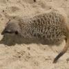 Surykatka. :: Zdjęcie wykonane w płocki<br />m zoo.