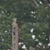 Kobczyk  :: Kobczyk (Falco vespertinu<br />s) &amp;ndash; gatunek śr<br />edniej wielkości ptaka dr<br />apieżnego z rodziny so